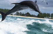 Tursiops Truncatus Prints - Bottlenose Dolphin Jumping Print by Beverly Factor