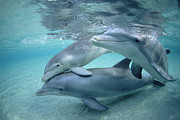 Atlantic Bottlenose Dolphin Prints - Bottlenose Dolphin Underwater Trio Print by Flip Nicklin