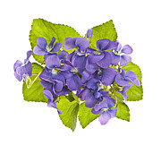 Botanical Photos - Bouquet of violets by Elena Elisseeva