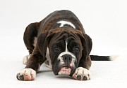 Boxer Puppy Photos - Boxer Pup by Mark Taylor