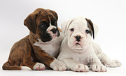 Domestic Animal Photos - Boxer Puppies by Mark Taylor