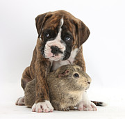 Domesticated Animals Posters - Boxer Puppy And Guinea Pig Poster by Mark Taylor