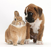 Boxer Puppy Prints - Boxer Puppy And Netherland-cross Rabbit Print by Mark Taylor