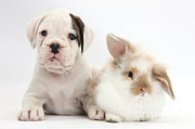 Boxer Puppy Prints - Boxer Puppy And Young Fluffy Rabbit Print by Mark Taylor