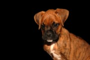 Brindle Prints - Boxer Puppy Print by Angie McKenzie