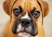 Puppy Metal Prints - Boxer Puppy Metal Print by Jody Trappe Photography
