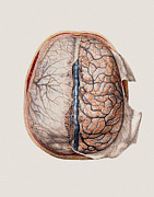 N.h. Prints - Brain Meninges Print by Mehau Kulyk