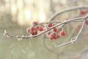 Red Fruit Art - Branches with early winter frost with red berries by Sandra Cunningham