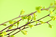 Textured Background Posters - Branches with green spring leaves Poster by Elena Elisseeva
