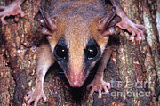 Possum Photos - Brazilian Opossum by Dante Fenolio