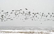 Winter Storm Posters - Brent Goose Flock In Flight Poster by Duncan Shaw
