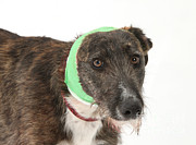 Lurcher Posters - Brindle Lurcher Wearing A Bandage Poster by Mark Taylor
