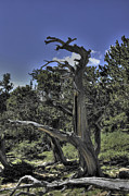 Mount Evans Framed Prints - Bristlecone Pine Framed Print by David Bearden