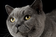 British Shorthair Art - British Blue Shorthair Cat by Paul Brighton