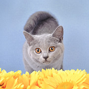 British Shorthair Kitten Print by Waldek Dabrowski