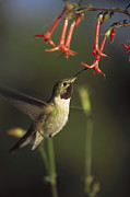 Feeding Birds Framed Prints - Broad Tailed Hummingbird Feeding Framed Print by Tim Fitzharris