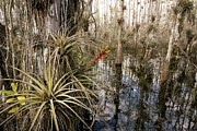 Florida Swamp Photos - Bromeliad (tillandsia Fasciculata) by Bob Gibbons