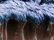 Epithelium Posters - Bronchial Cilia, Sem Poster by Steve Gschmeissner