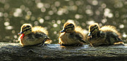 Mallard Ducklings Framed Prints - Brothers Framed Print by Mircea Costina Photography