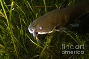 Catfish Photos - Brown Bullhead Catfish by Ted Kinsman
