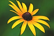 Rudbeckia Hirta Framed Prints - Brown Eyed Susan Framed Print by Michael Peychich
