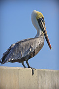 Large Metal Prints - Brown Pelican Metal Print by Adam Romanowicz