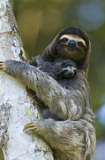 Costa Rica Posters - Brown-throated Three-toed Sloth Poster by Suzi Eszterhas