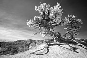 Tree Roots Photos - Bryce Canyon Tree Sculpture by Mike Irwin