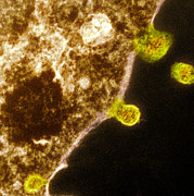 Budding Human Metapneumovirus Particles Print by Hazel Appleton, Centre For Infectionshealth Protection Agency