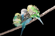 Side By Side Framed Prints - Budgerigar Framed Print by Jim McKinley