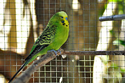Green.wings Framed Prints - Budgerigar - Parakeet Framed Print by Kaye Menner