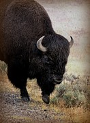 Bison Art - Buffalo  by Gayle Johnson