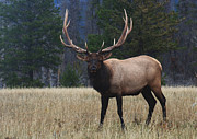 Bull Elk Prints - Bull Elk Print by Bob Christopher