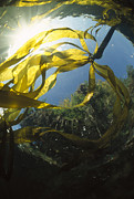 Featured Acrylic Prints - Bull Kelp Underwater Clayoquot Sound Acrylic Print by Flip Nicklin