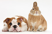 Domesticated Animals Posters - Bulldog Pup And Netherland-cross Rabbit Poster by Mark Taylor