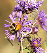 Aster Flower Prints - Bumble Bee Bumble Bee Print by Thomas Young