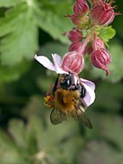 Geranium Photos - Bumble Bee Feeding by Adrian Bicker