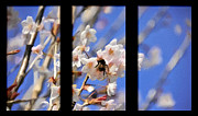 Blossom Tree Framed Prints - Bumble Bee Framed Print by Svetlana Sewell