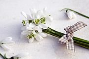 Winter Wedding Flowers Prints - Bunch Of Snowdrops (galanthus Nivalis) With Purple Ribbon Print by Juliette Wade