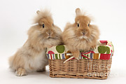 Picnic Basket Prints - Bunnies In A Basket Print by Mark Taylor
