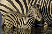 Waterhole Framed Prints - Burchells Zebra Equus Burchellii Foal Framed Print by Pete Oxford