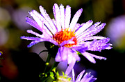 Dew Prints - Bushy Aster with Dew Print by Thomas R Fletcher
