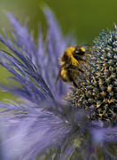 Beeswax Posters - Busy Bee on a Thistle Poster by Zoe Ferrie