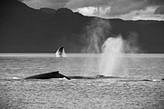 Darcy Michaelchuk - Busy Humpback Whale Pods