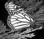 The Colors Of Butterflies Posters - Butterfly Collection Black White Poster by Debra     Vatalaro