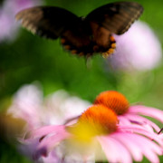 Frank Digiovanni Prints - Butterfly in Flight Print by Frank DiGiovanni