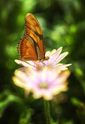 Julia Butterfly Acrylic Prints - Butterfly on a Daisy  Acrylic Print by Saija  Lehtonen