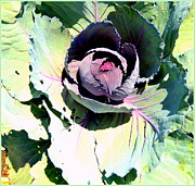 Lettuce Digital Art Framed Prints - Cabbage  Framed Print by Mindy Newman