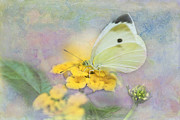 Blooms  Butterflies Posters - Cabbage White Butterfly Poster by Betty LaRue