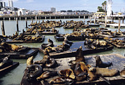 California Sea Lions Print by Alan Sirulnikoff
